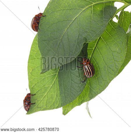 Colorado Potato Beetles On Green Plant Against White Background