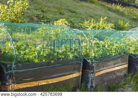 Small Garden In Plastic Pots And Pallet Collars. View Of Strawberry Plants In Pallet Collars With Pr