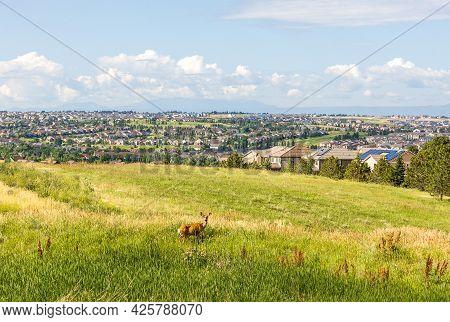 Colorado Living. Centennial, Colorado - Denver Metro Area Residential Panorama With  A Deer On The S