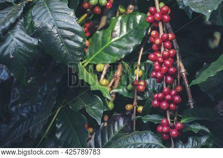 Ripe Red Coffee Bean Berry Plant Fresh Seed Coffee Tree Growth In Green Eco Organic Farm. Close Up R