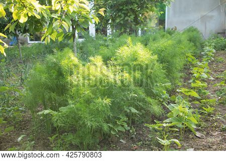Dill Grows Vigorously In The Garden - Concept For Care