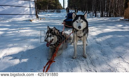 A Pair Of Black And White Siberian Huskies Are Harnessed, Standing On A Snowy Road. The Red Ropes Ar
