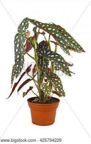 Beautiful Exotic Houseplant With Botanic Name 'begonia Maculata' With White Dots In Flower Pot Isola