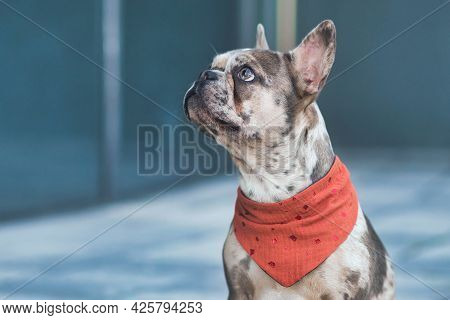 Merle Colored French Bulldog Dog Wearing Red Neckerchief With Copy Space