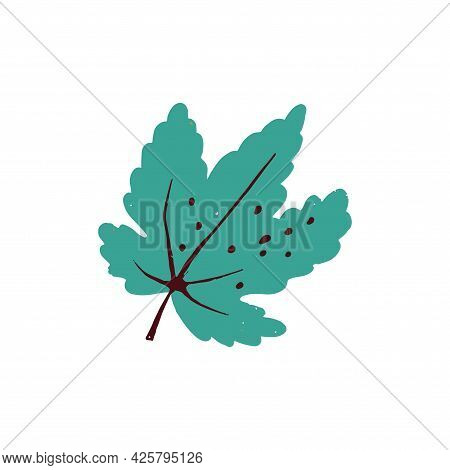 Maple Leaf Drawn On A White Background. Vector.