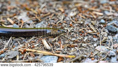 Closeup On A Slow-worm On Gravel Road