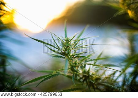 Branch Of Cannabis And Marijuana. Ganja, Hemp Beautiful Tree