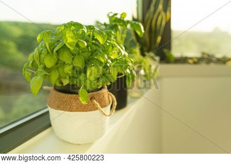 Fresh Genovese basil plant at home window sill indoor apartment easy herbs gardening. Plants in planters garden.