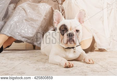 Dog Of The French Bulldog Breed With A White Coat Lies On The Carpet On The Floor At The Feet Of The