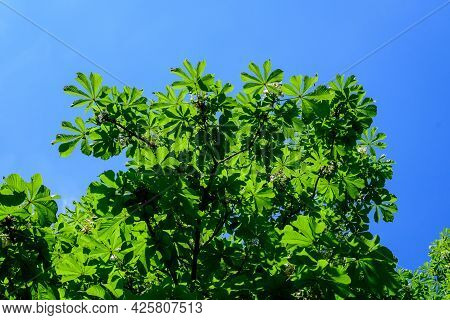 Small Fresh Green Leaves And White Flowers And Buds On Branches Of A Chestnut Tree, In A Garden In A