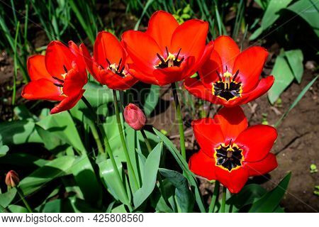 Close Up Of Many Delicate Red Tulips In Full Bloom In A Sunny Spring Garden
