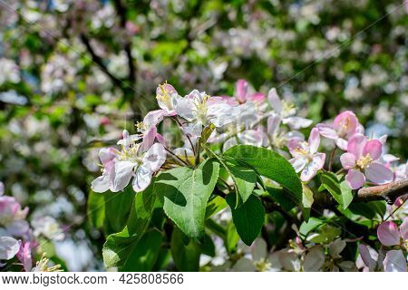 Close Up Of A Branch With White Apple Tree Flowers In Full Bloom With Blurred Background In A Garden