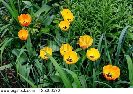 Close Up Of Many Delicate Vivid Yellow Tulips In Full Bloom In A Sunny Spring Garden