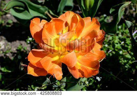One Delicate Vivid Orange Tulip In Full Bloom In A Sunny Spring Garden