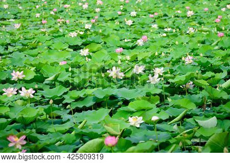 Delicate Vivid Pink And White Water Lily Flowers (nymphaeaceae) In Full Bloom And Green Leaves On A