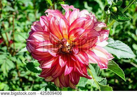 Close Up Of One Beautiful Small Vivid Pink And Red Dahlia Flower In Full Bloom On Blurred Green Back