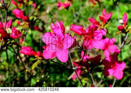 Bush Of Many Delicate Vivid Pink Flowers Of Azalea Or Rhododendron Plant In A Sunny Spring Scotish G