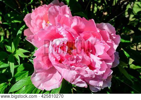 Bush With One Large Delicate Pink Peony Flowers In Direct Sunlight, In A Scotish Garden In A Sunny S