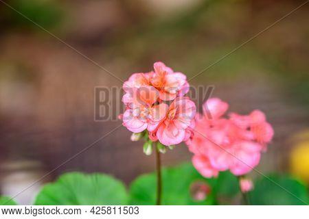 Small Vivid Pink Pelargonium Flowers, Known As Geraniums, Pelargoniums Or Storksbills, And Fresh Gre