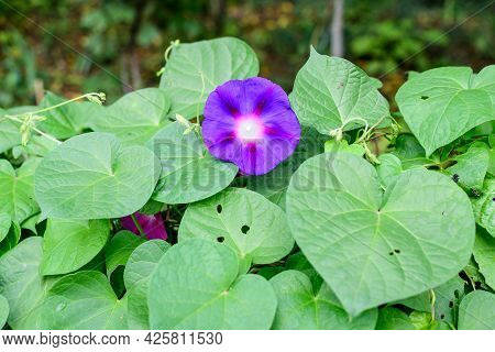 One Delicate Vivid Blue And Purple Flower Of Morning Glory Plant In A A Garden In A Sunny Summer Gar