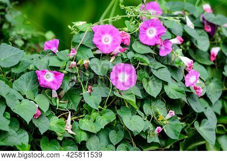 Many Delicate Vivid Pink Flowers Of Morning Glory Plant In A A Garden In A Sunny Summer Garden
