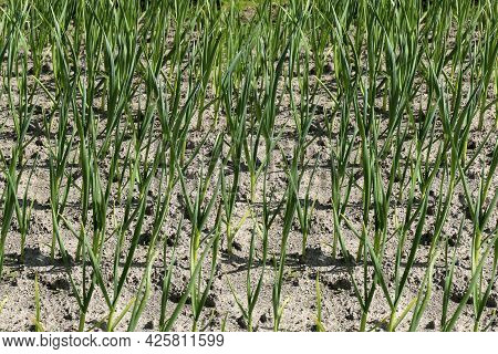 Spring Onions Growing In Vegetable Garden, Young Spring Onions
