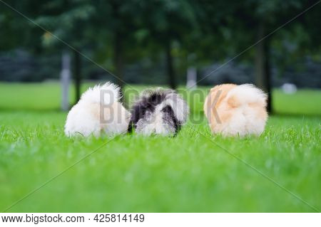 Fluffy Butts And A Tails Of Small Dogs Pomeranian Spitz Standing In A Field On The Grass