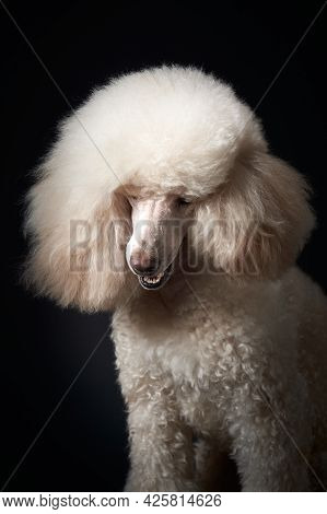 Portrait Of A White Small Poodle. Dog On Black Background. Beautiful Pet