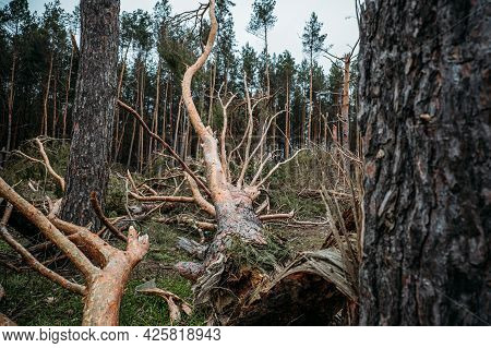 Tornado Storm Damage. Fallen Pine Trees In Forest After Storm. Uprooted Trees Fallen Down In Woodlan