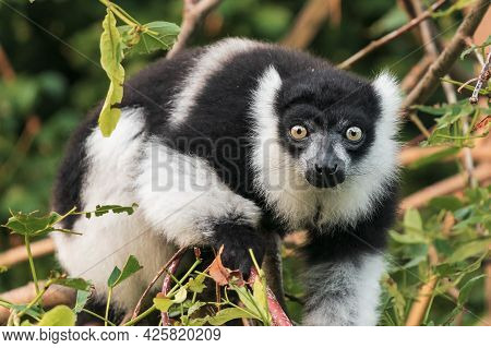 Africa, Animal Themes, Background, Black, Black And White, Black-and-white Ruffed Lemur, Brown, Clos