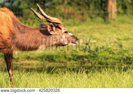 The Sitatunga Is A Rare Swamp-dwelling Antelope. It Is Distinguished By Its Long, Splayed Hooves. Th