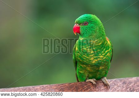 The Scaly-breasted Lorikeet (trichoglossus Chlorolepidotus) Is An Australian Lorikeet Found In Woodl