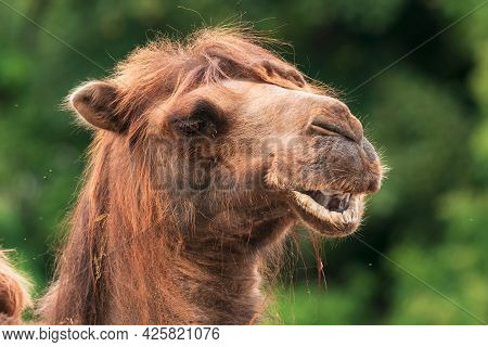 The Bactrian Camel (camelus Bactrianus), Also Known As The Mongolian Camel Or Domestic Bactrian Came