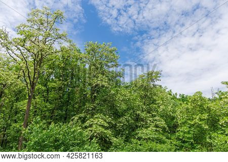 Blooming Black Locust Trees With Clusters Of White Flowers In Old Park On A Background Of The Sky Wi