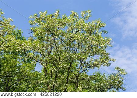 Top Of Old Blooming Black Locust Tree With Clusters Of White Flowers In Park On A Background Of The