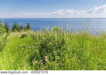 Wild Growing Shrub Of The Flowering Dog Rose Among The Tall Grass Against The Big Reservoir And Sky