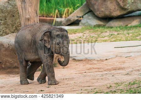 Funny Baby Elephant. The Asian Elephant Is The Largest Land Mammal On The Asian Continent. They Inha