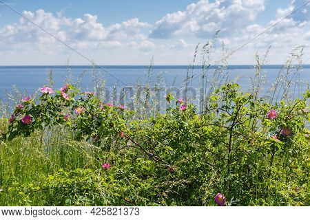 Wild Growing Shrub Of The Flowering Dog Rose Among The Tall Grass, Close-up On A Blurred Background