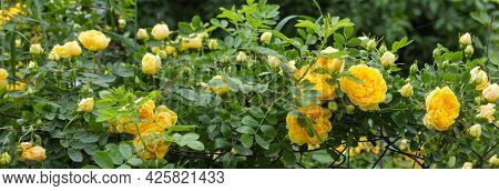 Branches Of Garden Yellow Creeping Rose Clambers Along The Old Rusty Mesh Fencing On A Blurred Backg