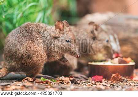 The Long-nosed Potoroo (potorous Tridactylus) Is A Species Of Potoroo. These Small Marsupials Are Pa