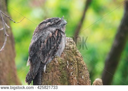 The Tawny Frogmouth (podargus Strigoides) Is A Species Of Frogmouth Native To The Australian Mainlan