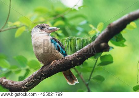 Blue-winged Kookaburra. Very Large Kingfisher With A Lot Of Blue In The Wings And Tail. Note Pale Ey