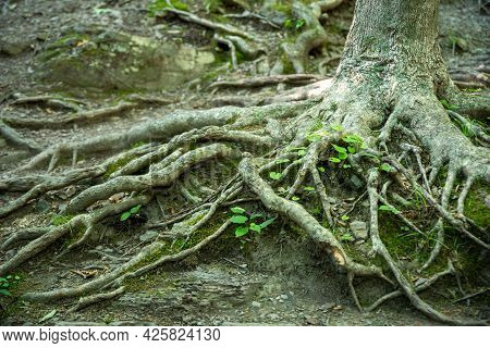 Nature Pattern Image With Color And Texture Background. Gnarled Roots And New Green Life Closeup Out