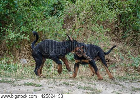 Two Black Young Dogs Playing With One Branch Against A Green Bush. Rottweiler Puppies Fighting Over