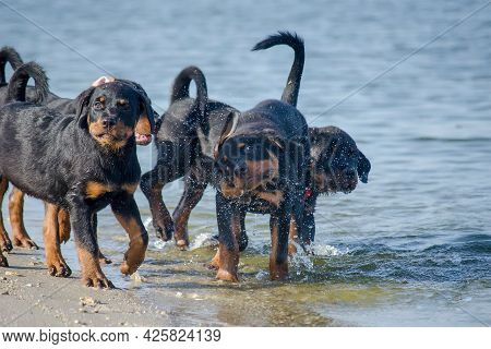 Four Young Dogs Frolicking On The Seashore. Three-month-old Rottweiler Puppies Shake Off Water After