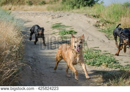 Dogs Frolic On Dirt Road. Rottweiler Puppies Want To Catch Up With The Red Dog And Grab Its Tail. We