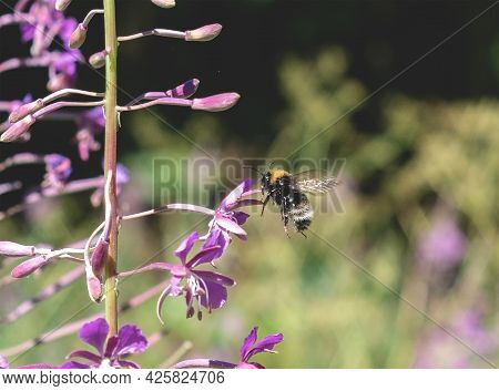 A Bee Collects Nectar From A Purple Fireweed Onagraceae Flower. Flying Insect In The Forest
