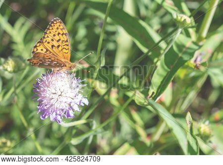 An Orange Butterfly Collects Nectar. A Beautiful Insect Is Sitting On A Clover.close Up.