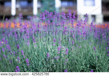 Lavender Flower Close Up Flowerbed View In The Town