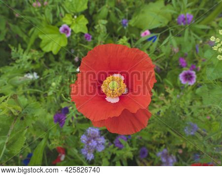 Red Poppy Flower With White Spots On The Leaves And In The Middle The Pistil, Photo Taken From Above